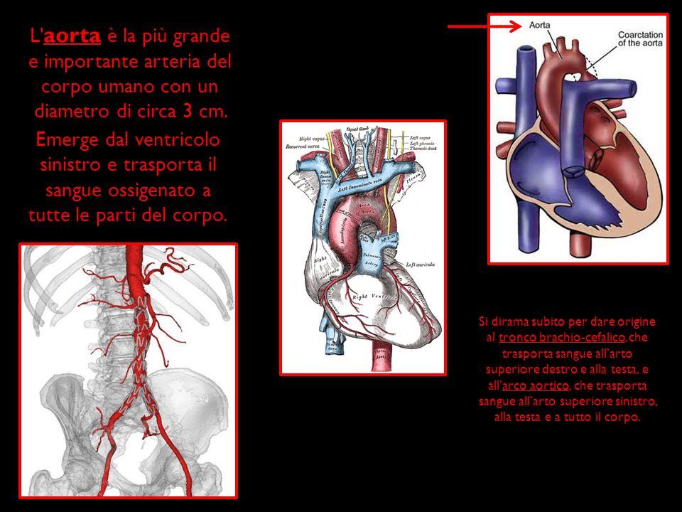 L' aorta è la più grande e importante arteria del corpo umano con un diametro di circa 3 cm. Emerge dal ventricolo sinistro e trasporta il sangue ossi
