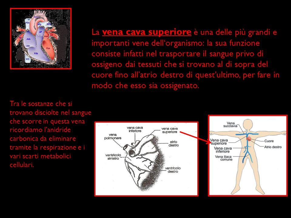 La vena cava superiore è una delle più grandi e importanti vene dellorganismo: la sua funzione consiste infatti nel trasportare il sangue privo di oss