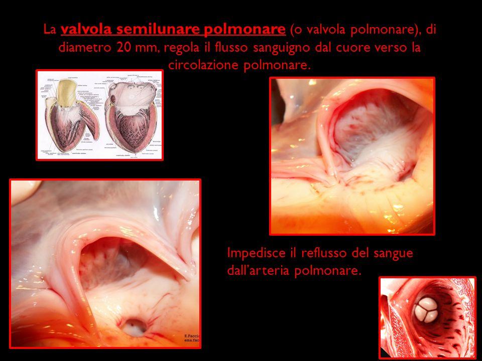 La valvola semilunare polmonare (o valvola polmonare), di diametro 20 mm, regola il flusso sanguigno dal cuore verso la circolazione polmonare. Impedi