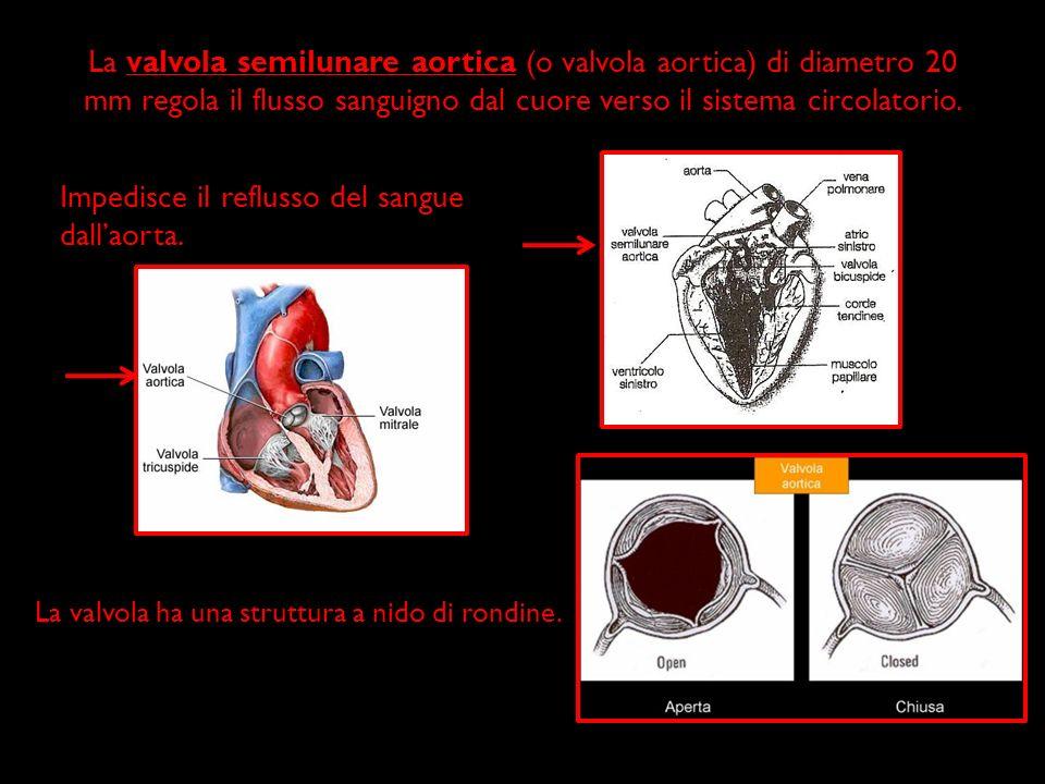 La valvola semilunare aortica (o valvola aortica) di diametro 20 mm regola il flusso sanguigno dal cuore verso il sistema circolatorio. Impedisce il r