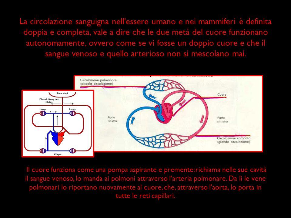 La circolazione sanguigna nell'essere umano e nei mammiferi è definita doppia e completa, vale a dire che le due metà del cuore funzionano autonomamen