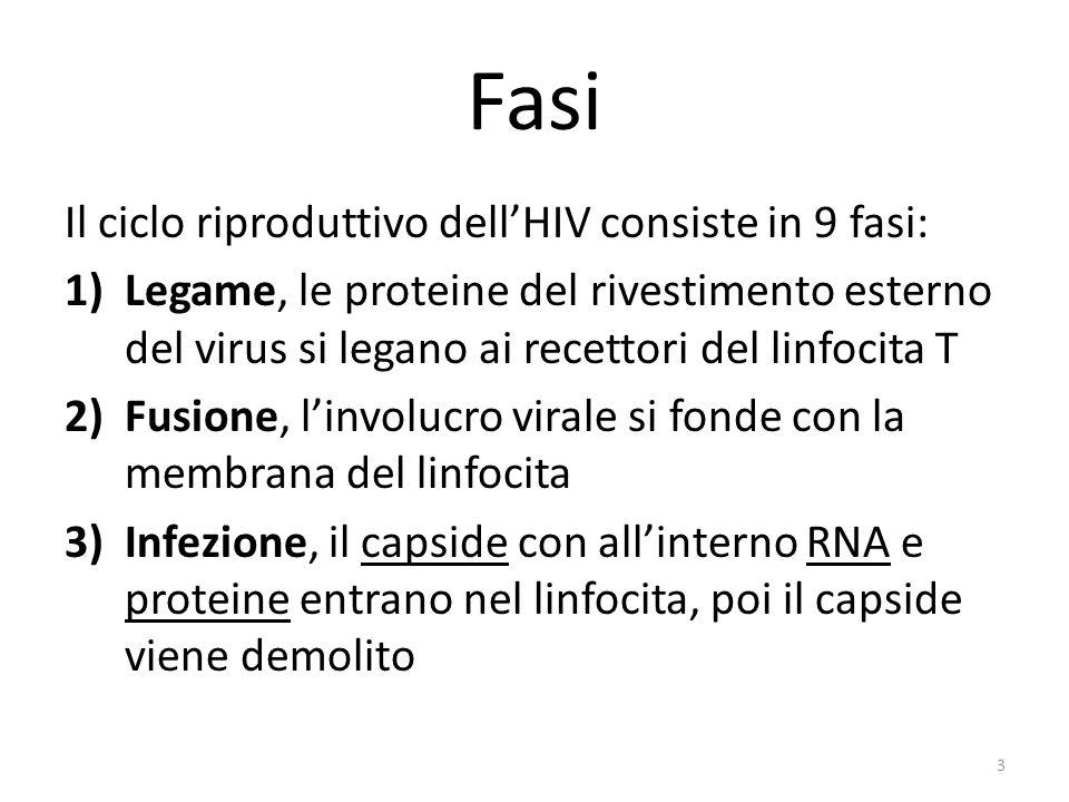 Fasi Il ciclo riproduttivo dellHIV consiste in 9 fasi: 1)Legame, le proteine del rivestimento esterno del virus si legano ai recettori del linfocita T 2)Fusione, linvolucro virale si fonde con la membrana del linfocita 3)Infezione, il capside con allinterno RNA e proteine entrano nel linfocita, poi il capside viene demolito 3