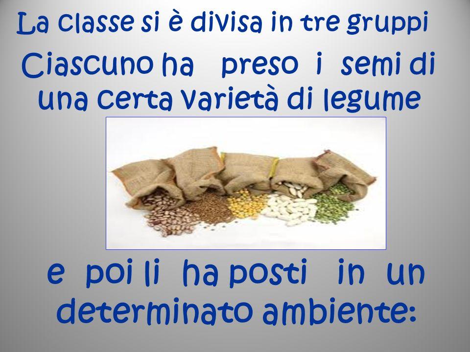 e poi li ha posti in un determinato ambiente: Ciascuno ha preso i semi di una certa varietà di legume La classe si è divisa in tre gruppi