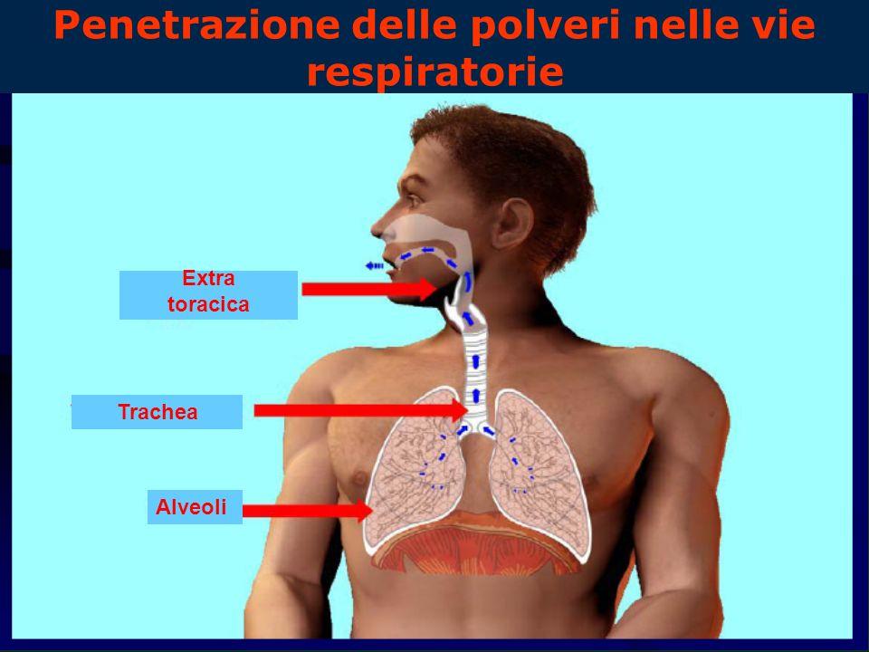 Penetrazione delle polveri nelle vie respiratorie Alveoli Trachea Extra toracica