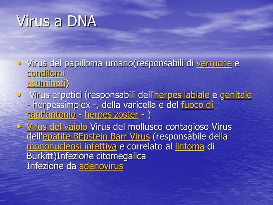 Virus a DNA Virus del papilloma umano(responsabili di verruche e condilomi acuminati) Virus del papilloma umano(responsabili di verruche e condilomi acuminati)verruche condilomi acuminativerruche condilomi acuminati Virus erpetici (responsabili dell herpes labiale e genitale - herpessimplex -, della varicella e del fuoco di sant antonio - herpes zoster - ) Virus erpetici (responsabili dell herpes labiale e genitale - herpessimplex -, della varicella e del fuoco di sant antonio - herpes zoster - )herpes labialegenitalefuoco di sant antonioherpes zosterherpes labialegenitalefuoco di sant antonioherpes zoster Virus del vaiolo Virus del mollusco contagioso Virus dell epatite BEpstein Barr Virus (responsabile della mononucleosi infettiva e correlato al linfoma di Burkitt)Infezione citomegalica Infezione da adenovirus Virus del vaiolo Virus del mollusco contagioso Virus dell epatite BEpstein Barr Virus (responsabile della mononucleosi infettiva e correlato al linfoma di Burkitt)Infezione citomegalica Infezione da adenovirus Virus del vaioloepatite BEpstein Barr Virus mononucleosi infettivalinfomaadenovirus Virus del vaioloepatite BEpstein Barr Virus mononucleosi infettivalinfomaadenovirus