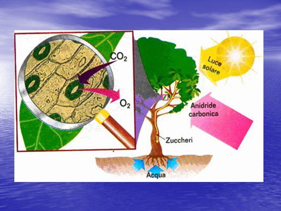 La fotosintesi clorofilliana è una parola composta da: La fotosintesi clorofilliana è una parola composta da:fotosintesi clorofillianafotosintesi clorofilliana Foto = luce Foto = luce Sintesi = combinazione di più sostanze Sintesi = combinazione di più sostanze Clorofilliana = aggettivo che deriva da clorofilla (sostanza contenuta nelle foglie).