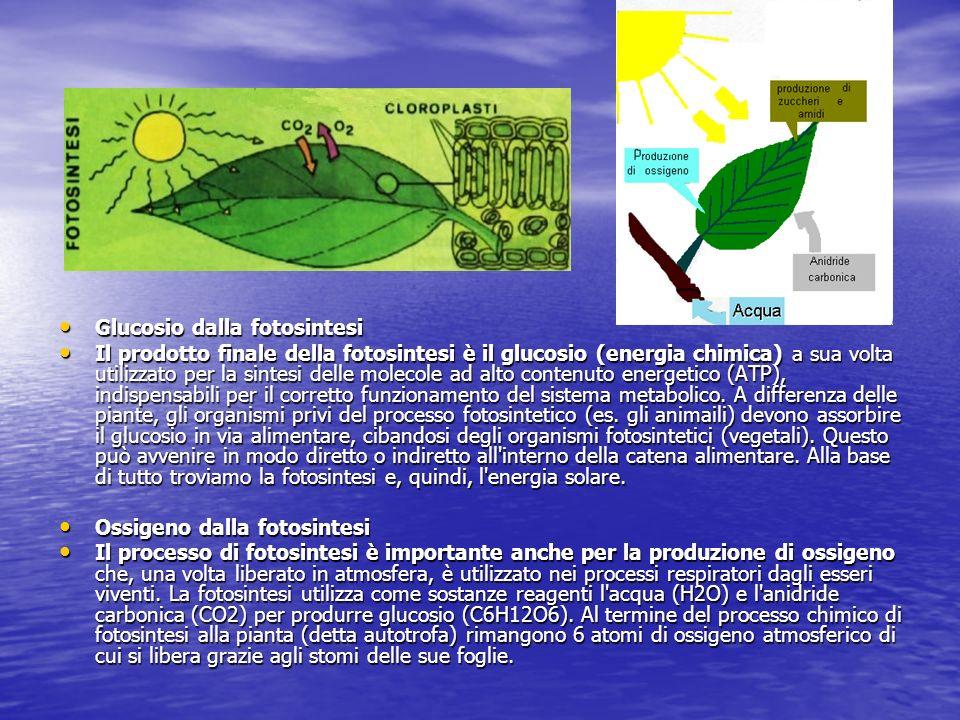 Importanza della fotosintesi La fotosintesi clorofilliana rappresenta la vita sul nostro pianeta perchè è grazie a questo fenomeno che, circa due miliardi di anni fa, latmosfera iniziò ad arricchirsi di ossigeno (indispensabile per la respirazione) con la prima fotosintesi svolta dai cianobatteri, ovvero batteri fotosintetici (in quanto contengono clorofilla).