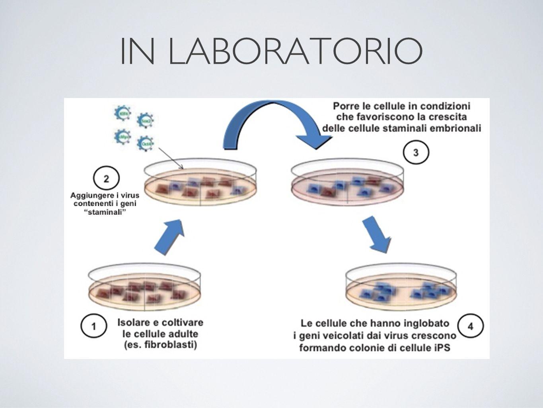 Un team di scienziati italiani ha osservato che, le iPS possono trasformarsi in cellule tumorali più facilmente rispetto alle staminali embrionali