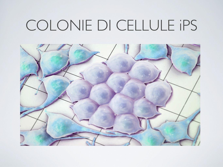 COLONIE DI CELLULE iPS