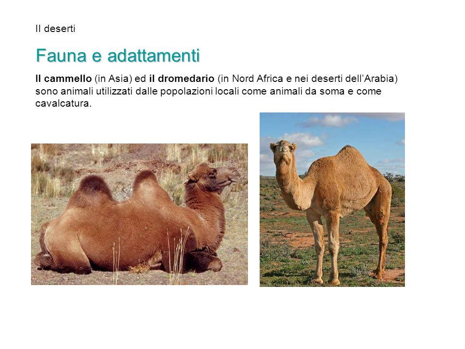 II deserti Fauna e adattamenti Il cammello (in Asia) ed il dromedario (in Nord Africa e nei deserti dellArabia) sono animali utilizzati dalle popolazi