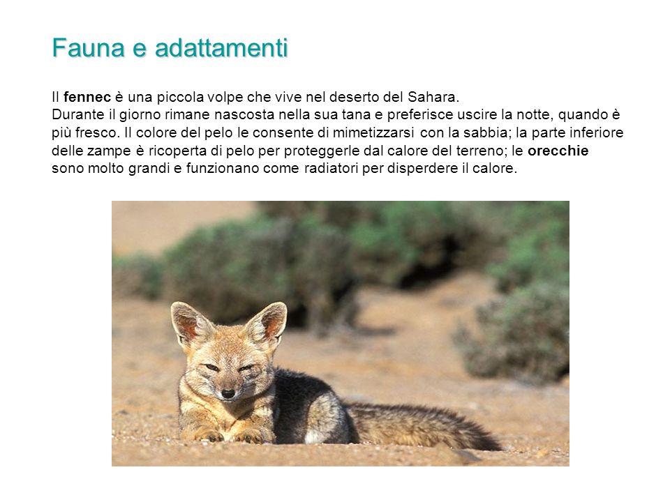 Il fennec è una piccola volpe che vive nel deserto del Sahara. Durante il giorno rimane nascosta nella sua tana e preferisce uscire la notte, quando è