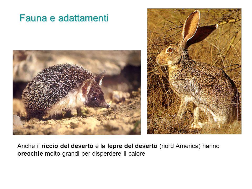 Anche il riccio del deserto e la lepre del deserto (nord America) hanno orecchie molto grandi per disperdere il calore Fauna e adattamenti