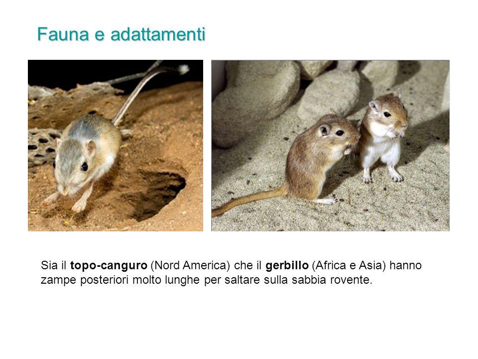 Sia il topo-canguro (Nord America) che il gerbillo (Africa e Asia) hanno zampe posteriori molto lunghe per saltare sulla sabbia rovente.