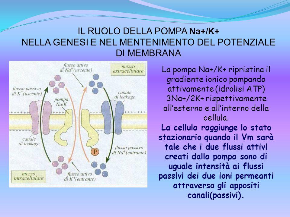 IL RUOLO DELLA POMPA Na+/K+ NELLA GENESI E NEL MENTENIMENTO DEL POTENZIALE DI MEMBRANA La pompa Na+/K+ ripristina il gradiente ionico pompando attivam