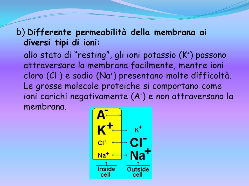 b) Differente permeabilità della membrana ai diversi tipi di ioni: allo stato di resting, gli ioni potassio (K + ) possono attraversare la membrana fa