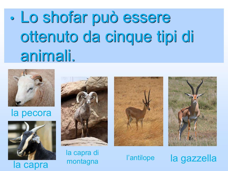 Lo shofar può essere ottenuto da cinque tipi di animali. Lo shofar può essere ottenuto da cinque tipi di animali. la pecora la capra la capra di monta