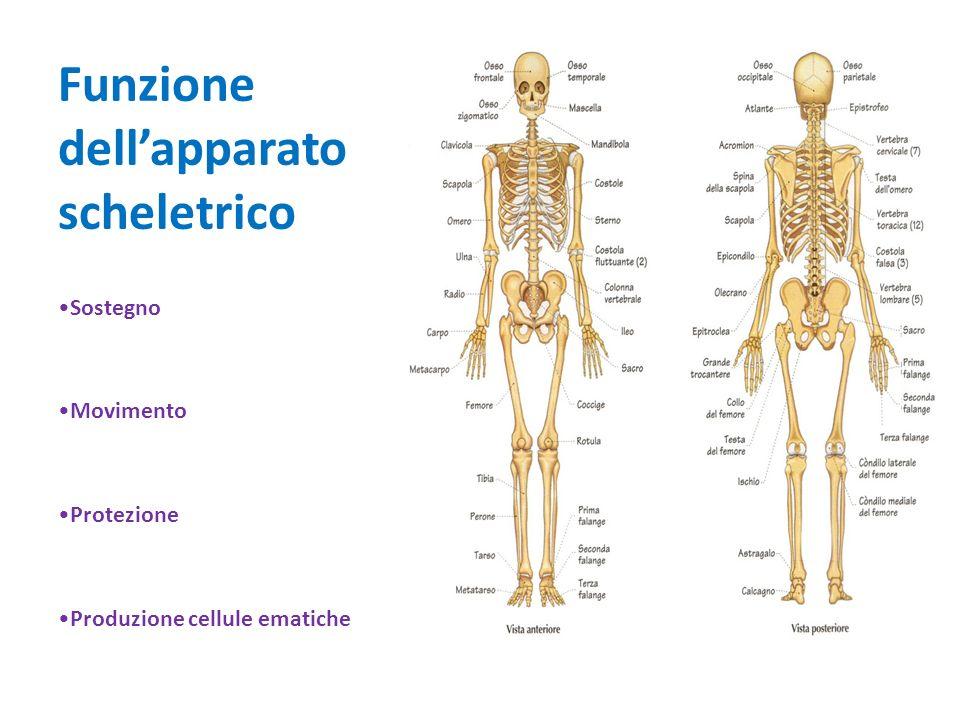 Tipologie di ossa Lunghe – Brevi – Piatte