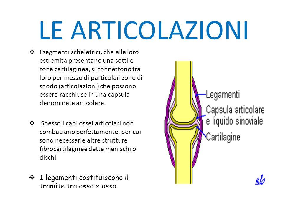 LE ARTICOLAZIONI I segmenti scheletrici, che alla loro estremità presentano una sottile zona cartilaginea, si connettono tra loro per mezzo di particolari zone di snodo (articolazioni) che possono essere racchiuse in una capsula denominata articolare.