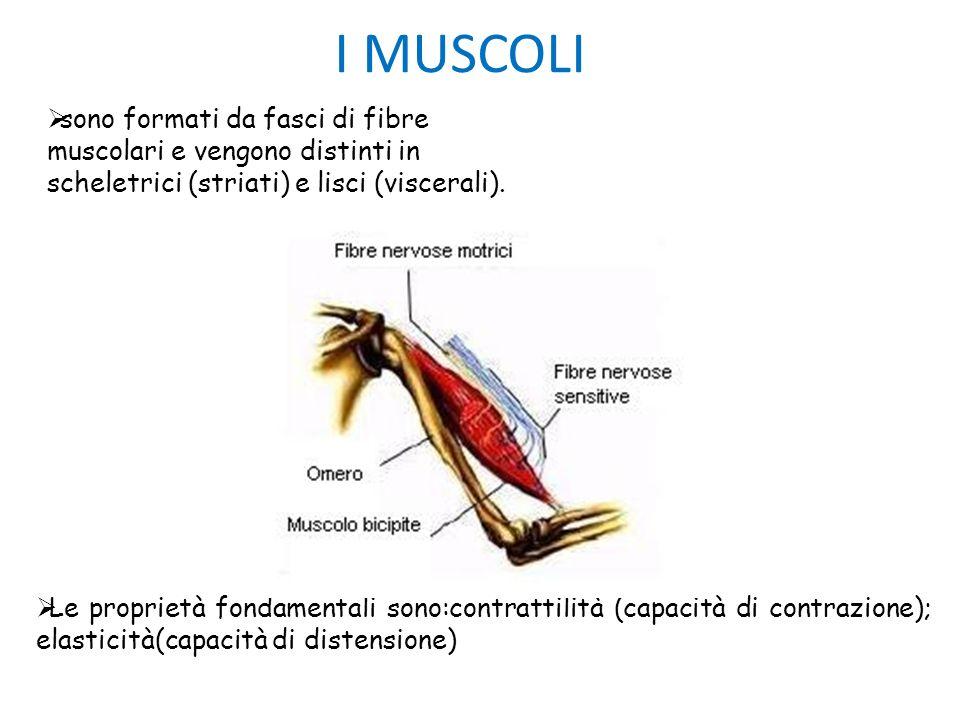 I MUSCOLI sono formati da fasci di fibre muscolari e vengono distinti in scheletrici (striati) e lisci (viscerali). Le proprietà fondamentali sono:con