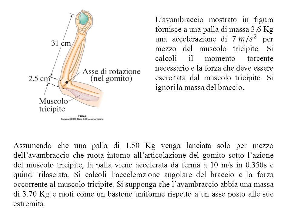 Assumendo che una palla di 1.50 Kg venga lanciata solo per mezzo dellavambraccio che ruota intorno allarticolazione del gomito sotto lazione del musco