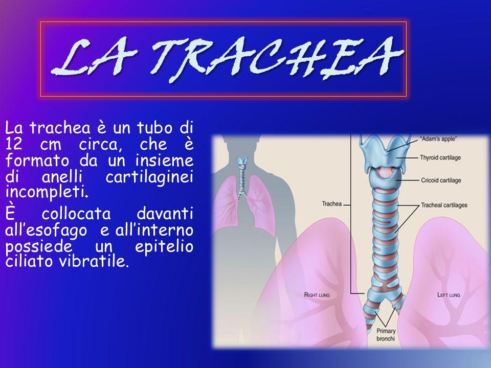 LA TRACHEA La trachea è un tubo di 12 cm circa, che è formato da un insieme di anelli cartilaginei incompleti. È collocata davanti allesofago e allint