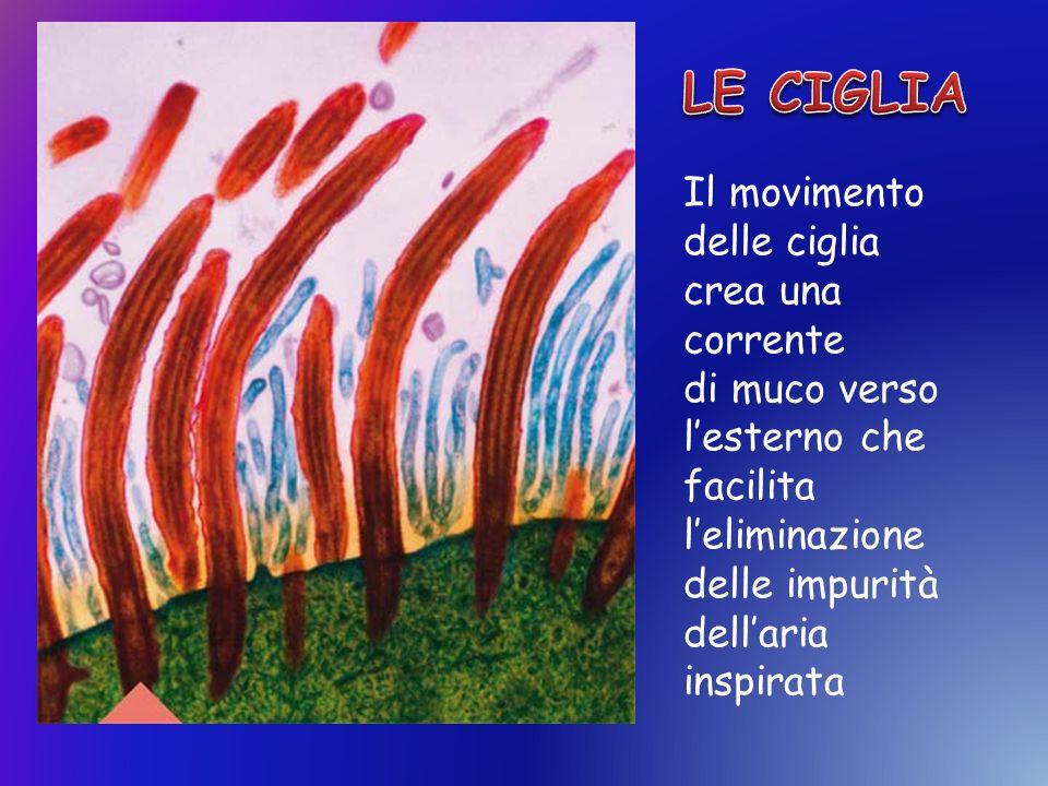 Il movimento delle ciglia crea una corrente di muco verso lesterno che facilita leliminazione delle impurità dellaria inspirata