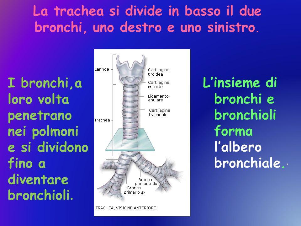 La trachea si divide in basso il due bronchi, uno destro e uno sinistro. Linsieme di bronchi e bronchioli forma lalbero bronchiale. I bronchi,a loro v