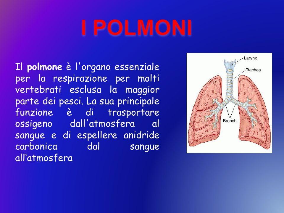 Il polmone è l'organo essenziale per la respirazione per molti vertebrati esclusa la maggior parte dei pesci. La sua principale funzione è di trasport