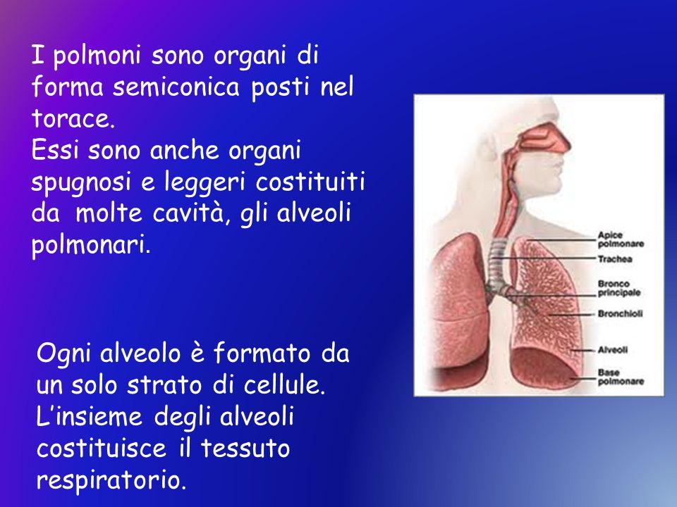 I polmoni sono organi di forma semiconica posti nel torace. Essi sono anche organi spugnosi e leggeri costituiti da molte cavità, gli alveoli polmonar