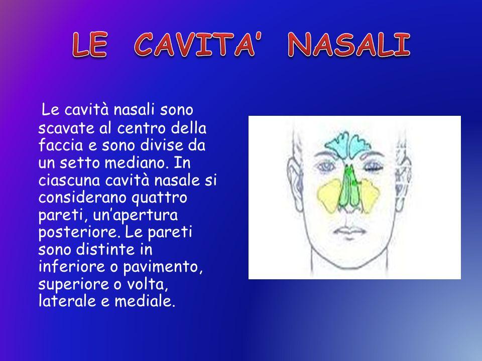 Le cavità nasali sono scavate al centro della faccia e sono divise da un setto mediano. In ciascuna cavità nasale si considerano quattro pareti, unape