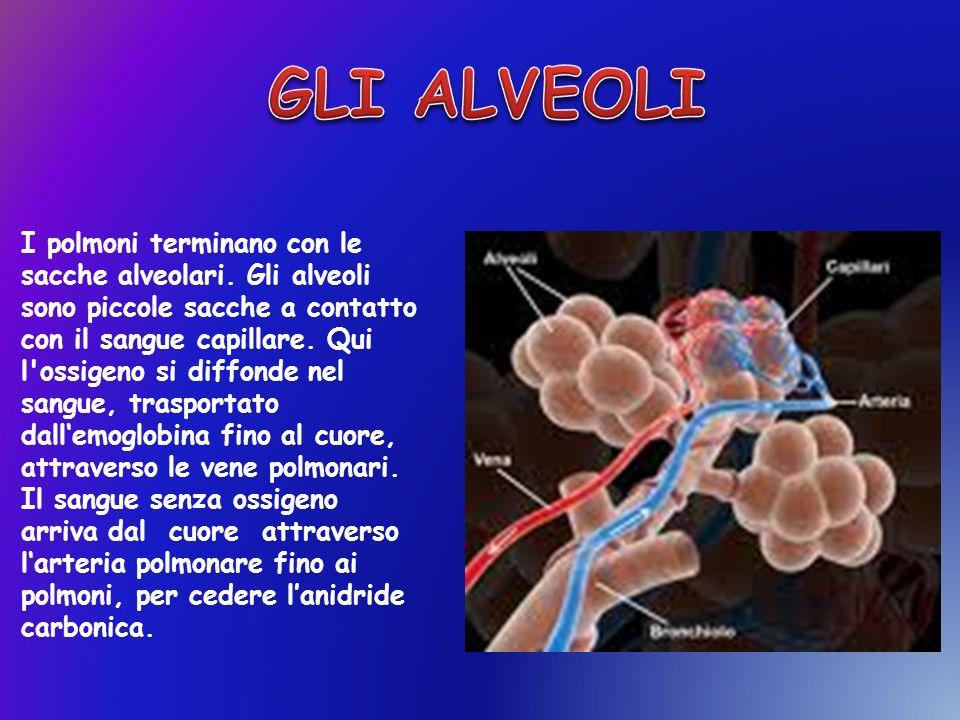I polmoni terminano con le sacche alveolari. Gli alveoli sono piccole sacche a contatto con il sangue capillare. Qui l'ossigeno si diffonde nel sangue