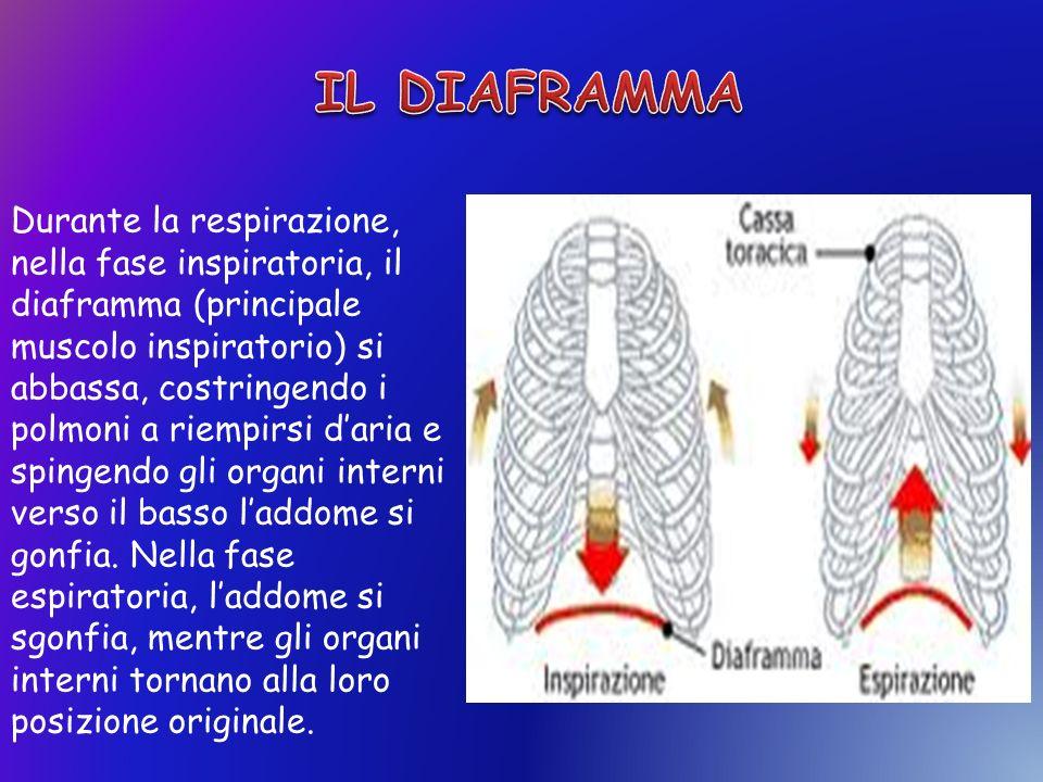 Durante la respirazione, nella fase inspiratoria, il diaframma (principale muscolo inspiratorio) si abbassa, costringendo i polmoni a riempirsi daria