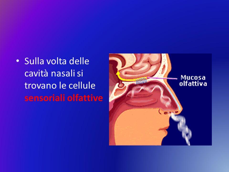 Sulla volta delle cavità nasali si trovano le cellule sensoriali olfattive