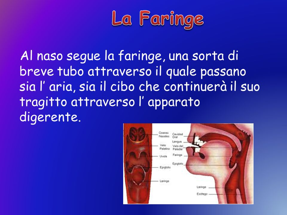 La Faringe, infatti, continua in basso con lesofago e con la laringe, che fa parte dellapparato respiratorio.