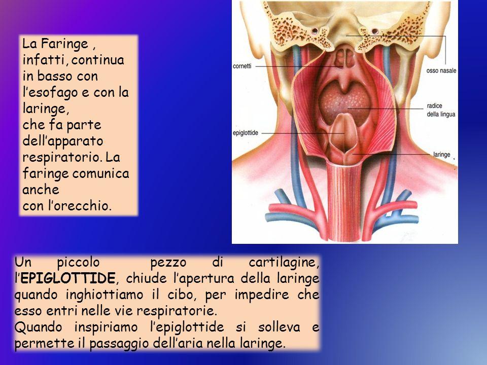 La Faringe, infatti, continua in basso con lesofago e con la laringe, che fa parte dellapparato respiratorio. La faringe comunica anche con lorecchio.