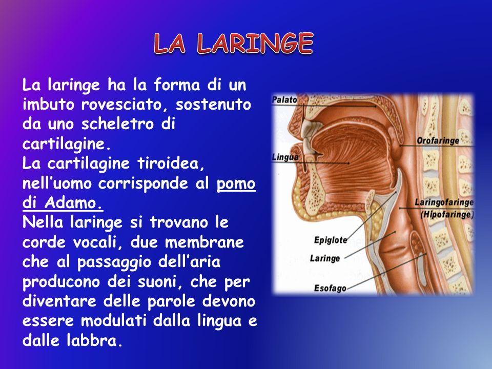 La laringe ha la forma di un imbuto rovesciato, sostenuto da uno scheletro di cartilagine. La cartilagine tiroidea, nelluomo corrisponde al pomo di Ad