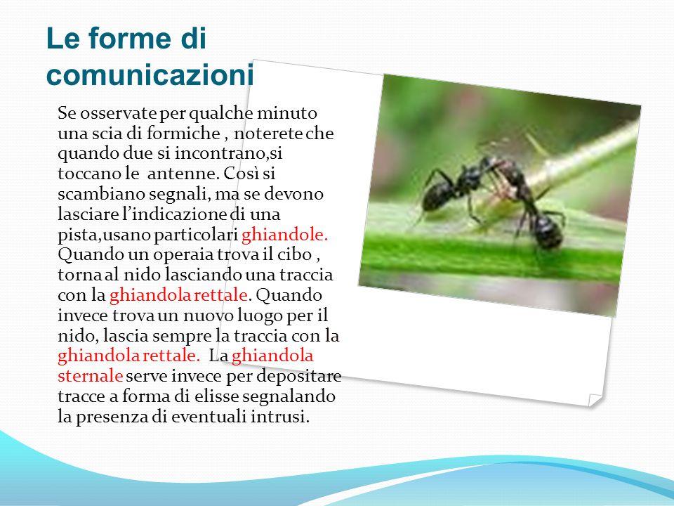 Le forme di comunicazioni Se osservate per qualche minuto una scia di formiche, noterete che quando due si incontrano,si toccano le antenne. Così si s