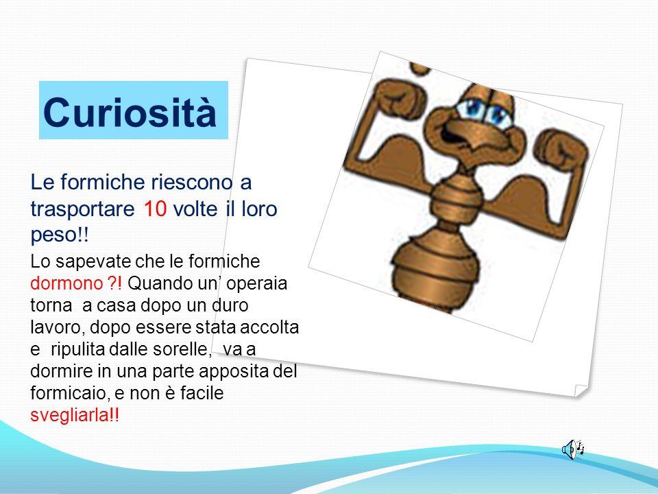 Curiosità Le formiche riescono a trasportare 10 volte il loro peso !! Lo sapevate che le formiche dormono ?! Quando un operaia torna a casa dopo un du