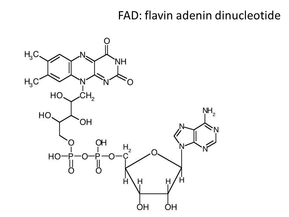 FAD: flavin adenin dinucleotide