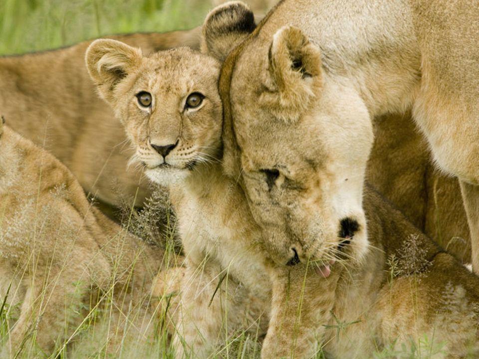 Un tempo si trovano leoni nell Europa meridionale in tutta l africa e in alcune regioni dell Asia. Oggi i leoni sono confinati in parchi africani in i