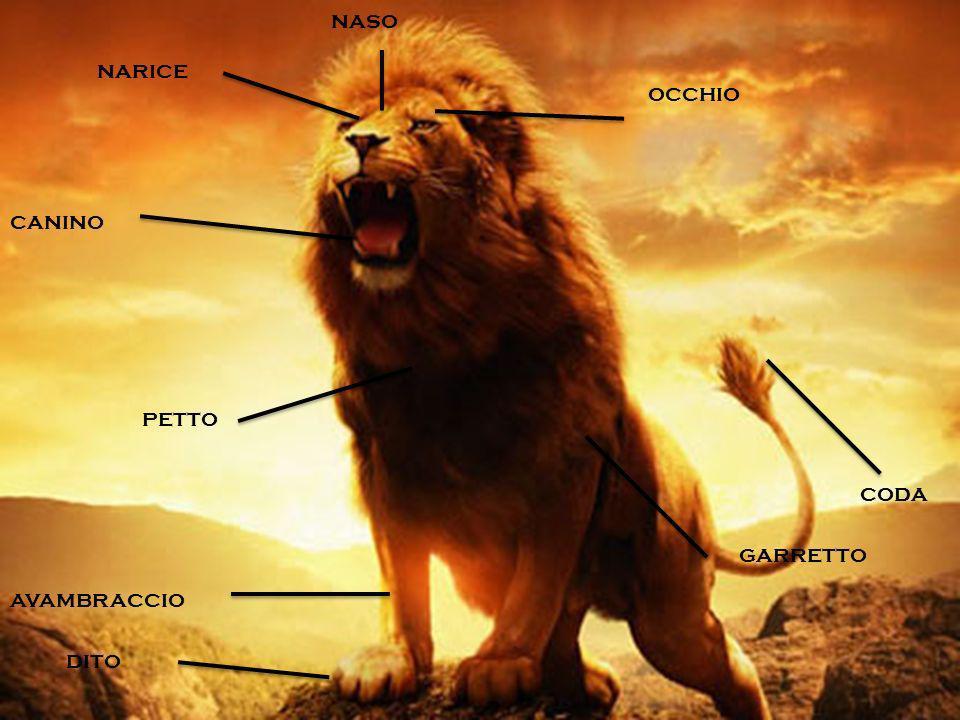 l corpo del Leone può misurare fino a 2,5 metri di lunghezza per un peso complessivo di circa 250 kg. Ha zampe relativamente corte e una testa molto g