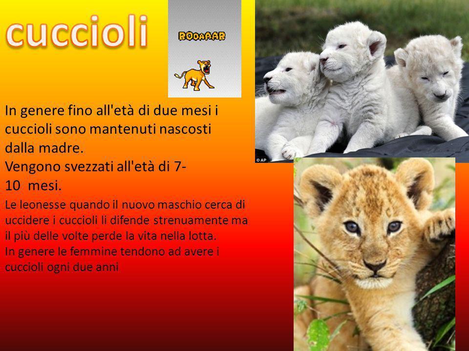 leoni sono poligami; allo stato selvatico si riproducono ogni 18-26 mesi, in cattività una volta allanno. Al termine del periodo di gestazione, che du