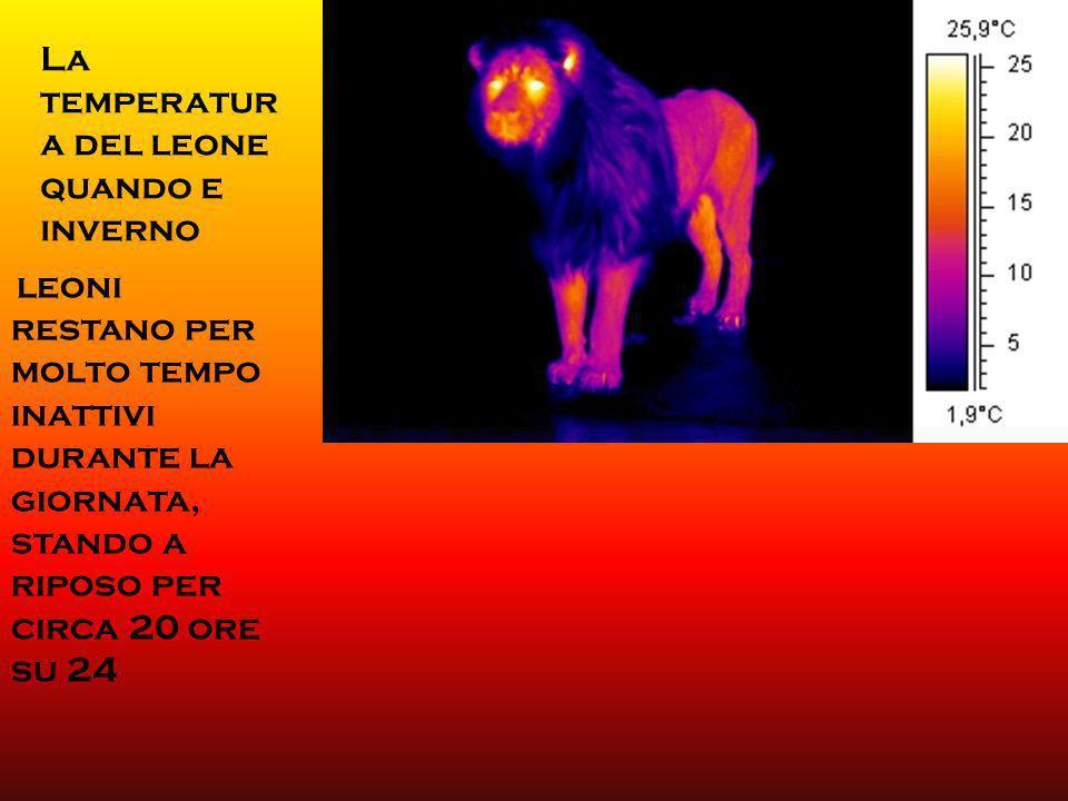 I leoni sono carnivori, ed il fabbisogno giornaliero di carne raggiunge i 5 kg tra le femmine adulte ed i 7 kg tra i maschi. [18] Questi animali posso