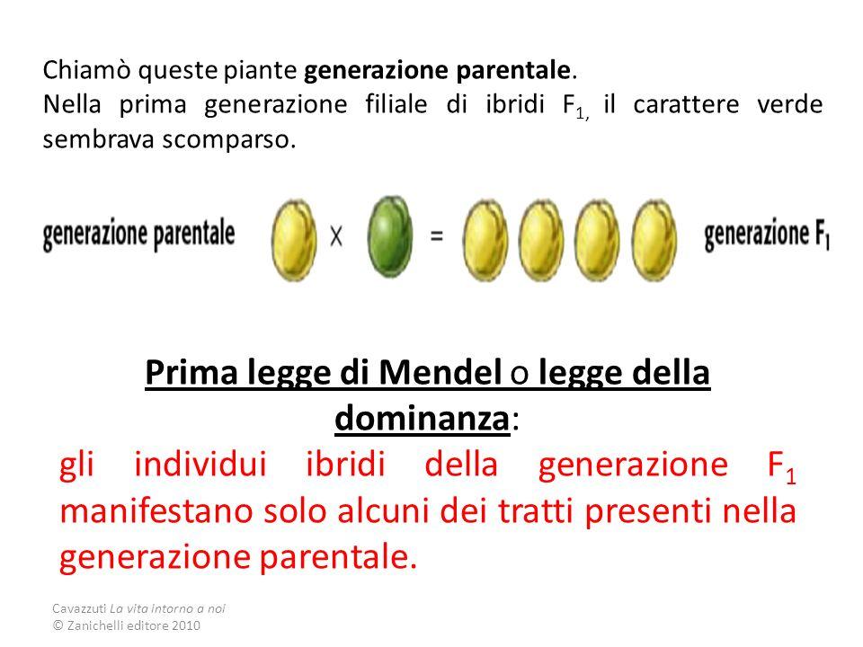 Cavazzuti La vita intorno a noi © Zanichelli editore 2010 Chiamò queste piante generazione parentale. Nella prima generazione filiale di ibridi F 1, i