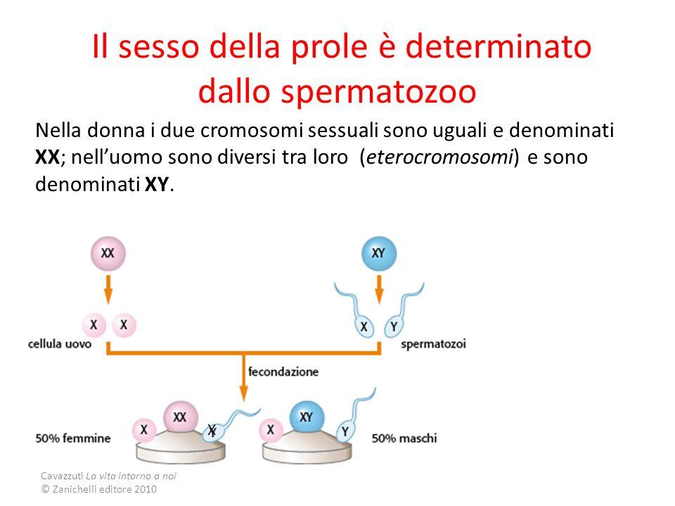 Cavazzuti La vita intorno a noi © Zanichelli editore 2010 Il sesso della prole è determinato dallo spermatozoo Nella donna i due cromosomi sessuali so