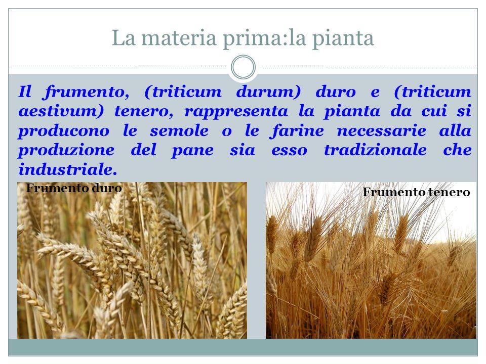La materia prima:la pianta Il frumento, (triticum durum) duro e (triticum aestivum) tenero, rappresenta la pianta da cui si producono le semole o le f