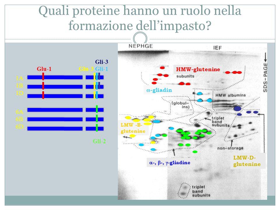 Quali proteine hanno un ruolo nella formazione dellimpasto? 1A 1B 1D 6A 6B 6D Glu-1Gli-1Glu-3 Gli-2 LMW -B- glutenine HMW-glutenine Gli-3 -, -, -gliad