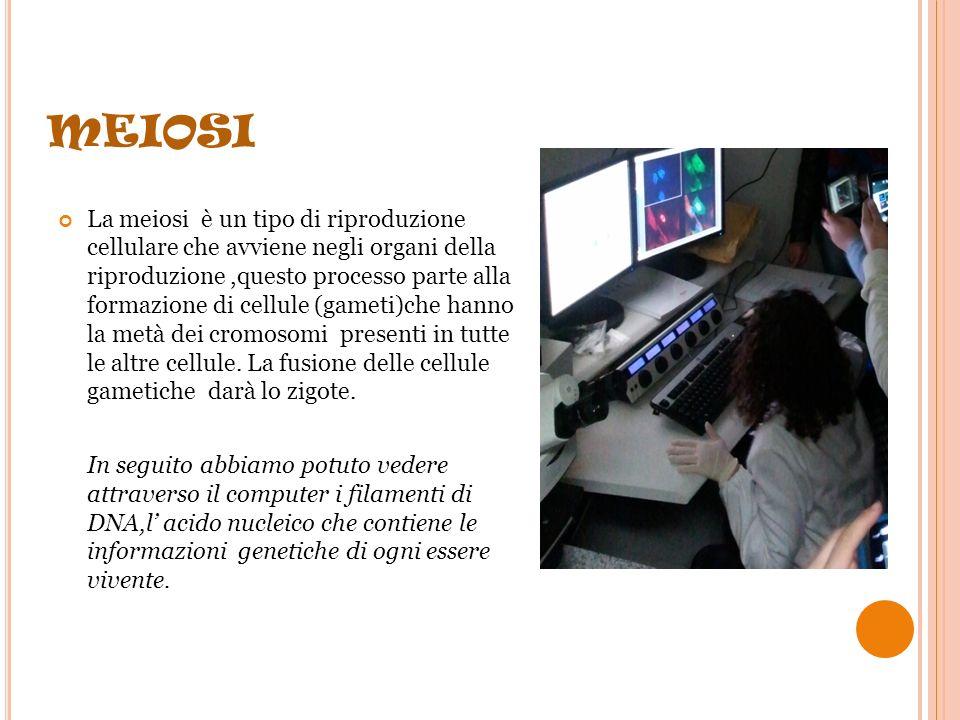 MITOSI il primo laboratorio era ricco di microscopi; la guida ci ha spiegato il processo della mitosi e della meiosi La mitosi è il processo mediante il quale una cellula si divide in due cellule figlie essa avviene in tre fasi : 1)SI DUPLICANO I CROMOSOMI 2)SI DIVIDE IL NUCLEO IN DUE NUCLEI 3)SI DIVIDE IL CITOPLASMA GENERANDO DUE CELLULE FIGLIE la mitosi avviene nella cellula somatica cioè con il patrimonio genetico completo.