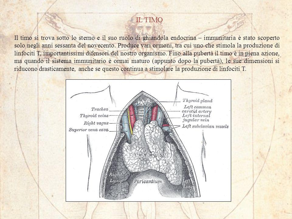 IL TIMO Il timo si trova sotto lo sterno e il suo ruolo di ghiandola endocrina – immunitaria è stato scoperto solo negli anni sessanta del novecento.