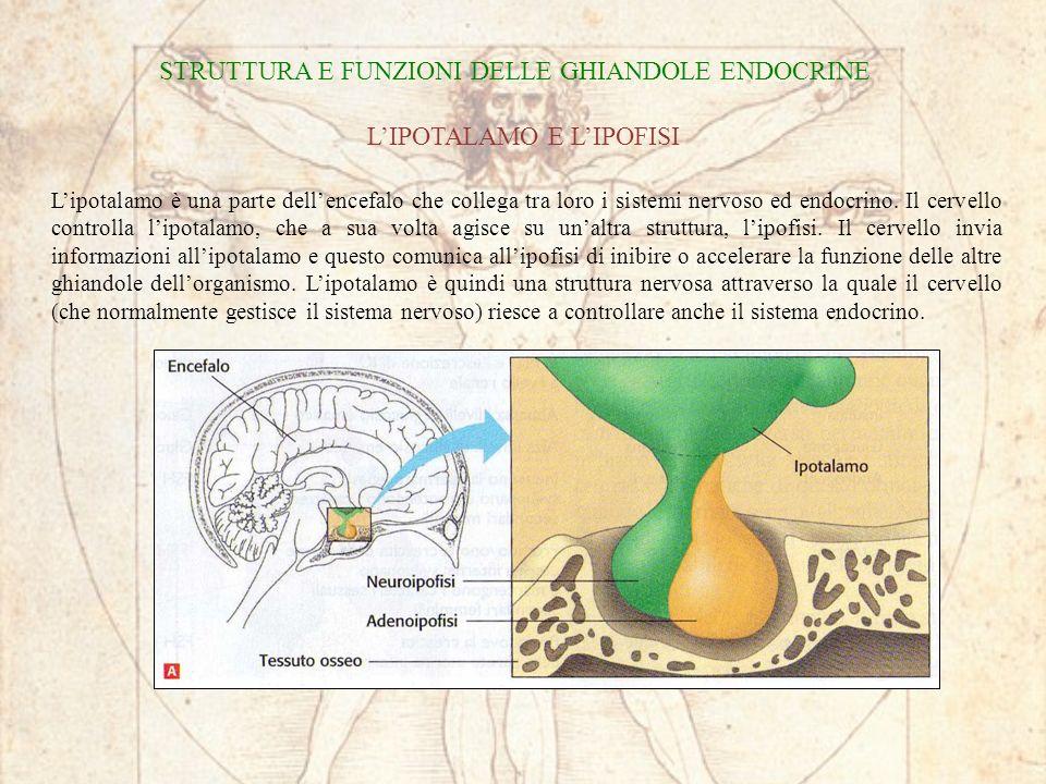 STRUTTURA E FUNZIONI DELLE GHIANDOLE ENDOCRINE LIPOTALAMO E LIPOFISI Lipotalamo è una parte dellencefalo che collega tra loro i sistemi nervoso ed end